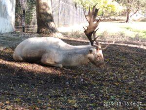 Заповедник АСКАНИЯ-НОВА белый олень
