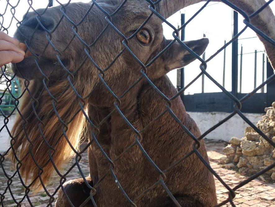 Заповедник АСКАНИЯ-НОВА горный козел