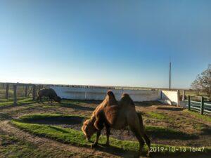 Заповедник АСКАНИЯ-НОВА. Верблюд .