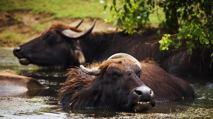 В гости к водяным буйволам из Одессы