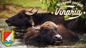 буйволы и дегустация