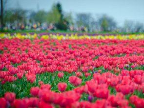 Море тюльпанов и Новая Каховка из Одессы.