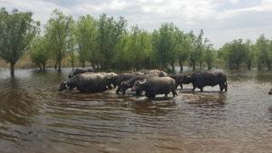 Тур из Одессы к водяным буйволом