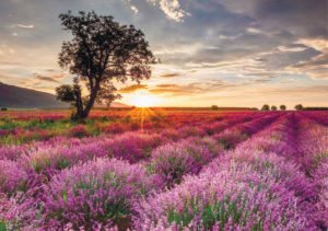 лавандовые поля из Одессы