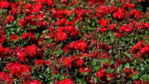 Долина роз из Одессы тур
