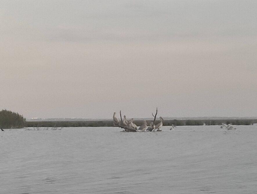 в далеке пеликаны